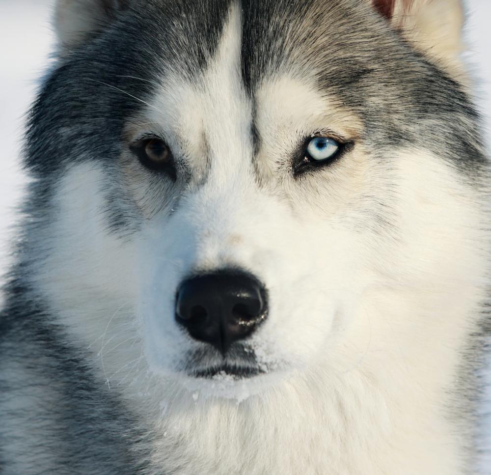 husky sibérien